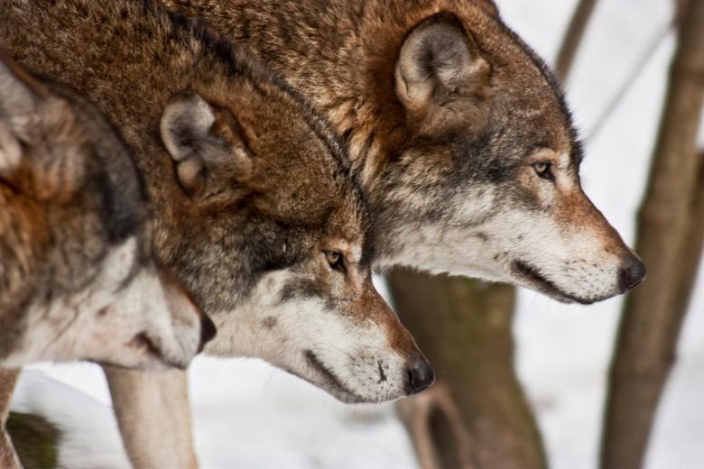 Wolves - Wolven in de sneeuw.