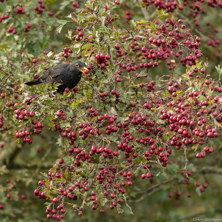 Merel met bes - Rond deze tijd van het jaar zie je weer vele vogels even van de bessen snoepen.