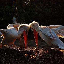 Pelikanen,blijdorp.