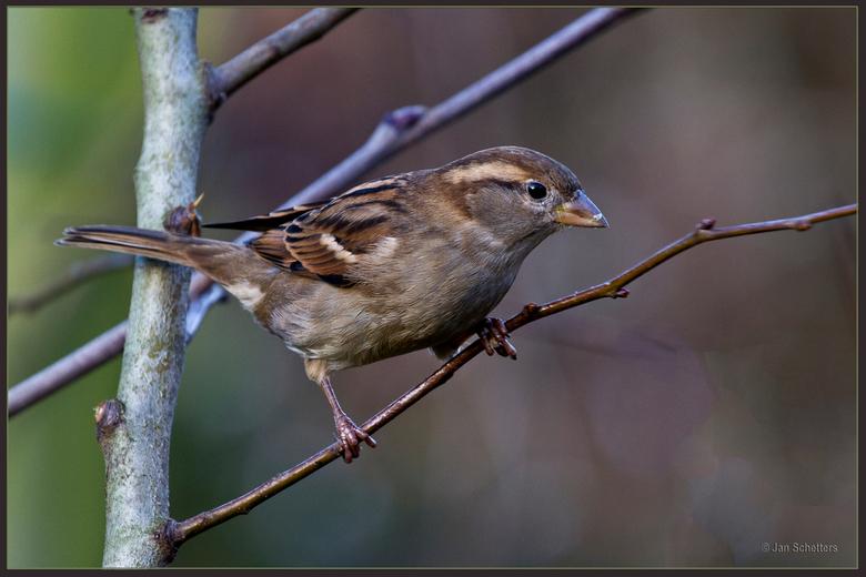 Huismus, vrouwtje - Een allerdaags, leuk en bij mij in de tuin zeer schuw vogeltje. Dit terwijl ze op een terras zo hier en daar soms het brood van je