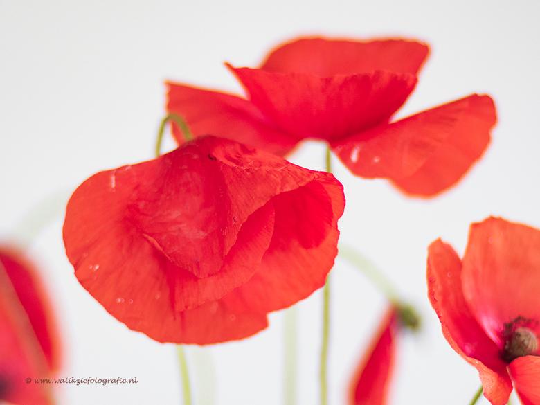 Rood..... - Dankjewel allemaal voor de leuke, lieve, enthousiaste en mooie reacties op mijn vorige upload &#039;Orchidee&#039;.<br /> Ik ben er natuu