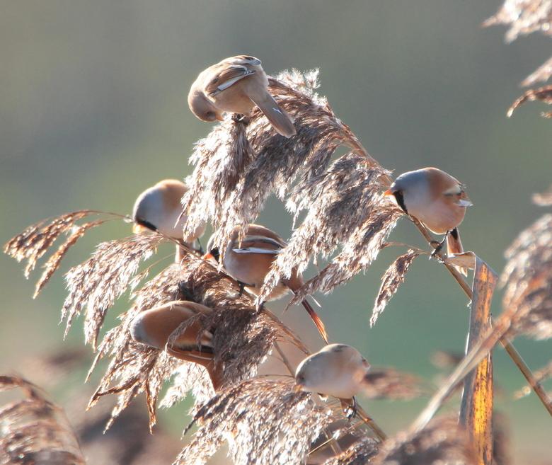 Baardmannen en vrouwen in de rietputten  - Niet 1 niet 2 maar 6 baardmannetjes in de rietputten