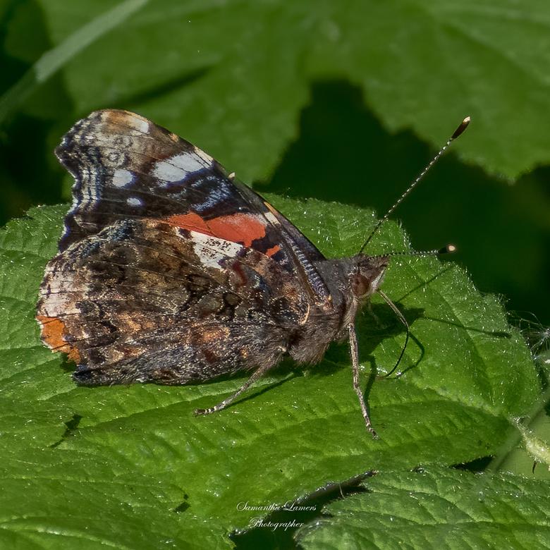 Atalanta - Atalanta is een trekvlinder, die ieder jaar vanuit Zuid-Europa naar Nederland komt om hier nieuwe generaties voort te zetten. Het is een da