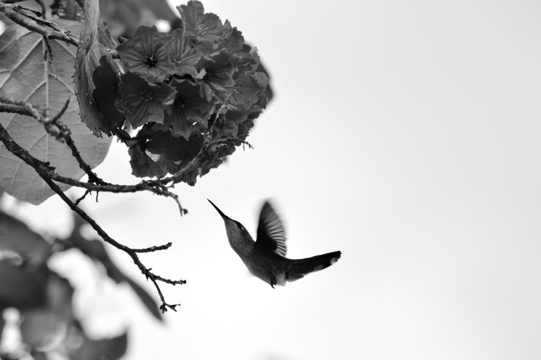 Bonaire - Kolibrie - Kolibrie - Bonaire