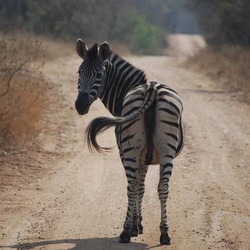 Zebra groet