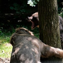 Beren ruzie in Ouwehandsdierenpark