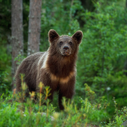 Nieuwsgierige jonge beer