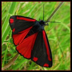 St.Jansvlinder in het gras.....