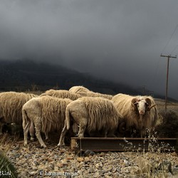 sheep on Crete in cloudy conditions