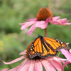 Monarch vlinder.