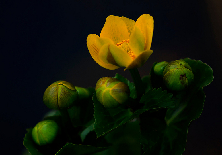 Dotterbloem - Wat veel wind en wat weinig licht leverden gisteravond dit plaatje op van de eerste bloem in de vijver dit jaar.