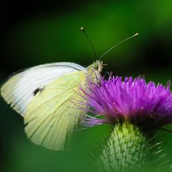Vlinder op een distel