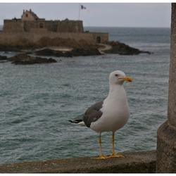 De gevleugelde bewoners van St Malo