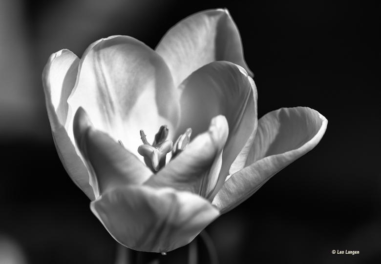 Witte tulp - Bedankt voor alle mooie reacties op mijn vorige foto.<br /> Blijft leuk om te lezen.<br /> Groetjes Leo