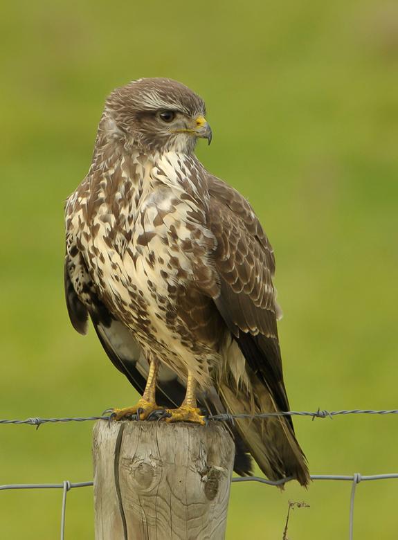 Buizerd - Dat heb ik weer! Als vogelaar en chauffeur, dat de roofvogel aan de verkeerde kant van de weg op een paaltje ging zitten. Mijn vogelmaatje W