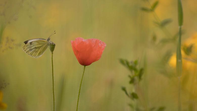 The Last Poppy