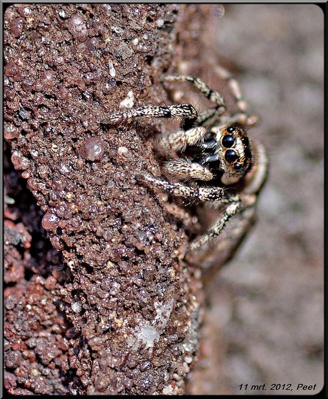 Hier ben ik weer - Een foto van het zebra spinnetje niet groter als zo,n 4 á 5 mm en gistermorgen gemaakt. Het is een nieuw muurvriendje geworden.