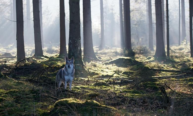 aisa_HH - Saarlooswolfhond met tegenlicht
