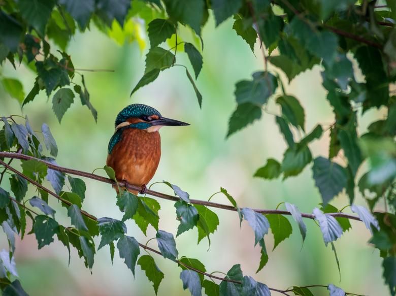 IJsvogel - De IJsvogel zat heel geduldig in de bosjes verstopt...