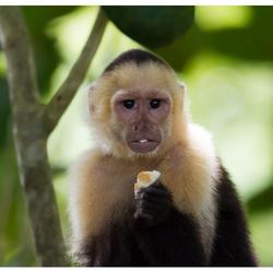 Capucijnaap, Costa Rica