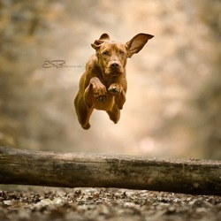 flying vizsla