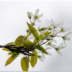bloesem van het krentenboompje