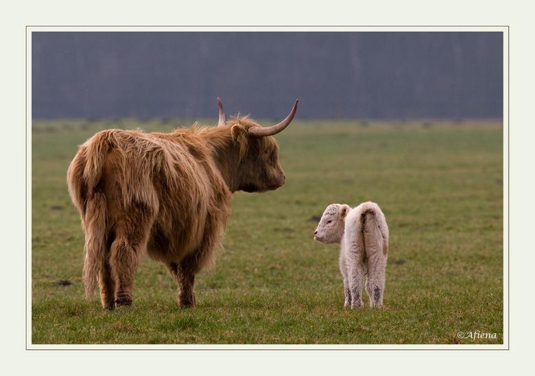 ...en luister goed... - ...wat ik je zeg...<br /> Een na laatste foto uit deze serie van<br /> Schotse hooglander met kalf.<br /> Allemaal hartelij