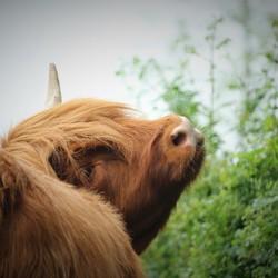 Schotse hooglander in de Reeshof