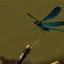 Heideoeverlibel