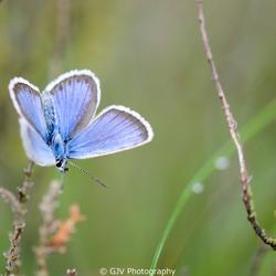 Heideblauwtje - mannetje