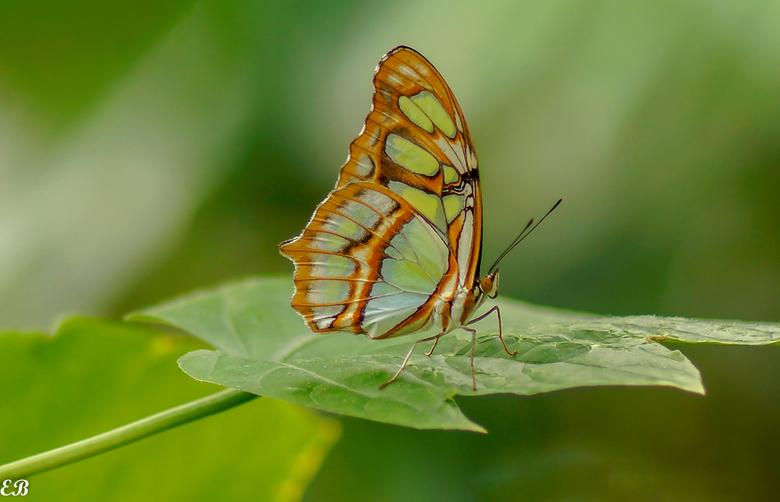 Vlinder - Iederen weer bedankt voor de leuke en fijne reacties bij mijn vorige uploads.<br /> Groet en prettig weekend, Evert.
