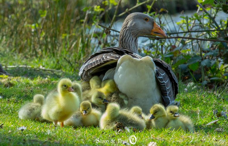 21 Goslings - In Barneveld naast het kasteel trof ik een gans met 21 kuikens.