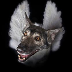 Hemelse Hond