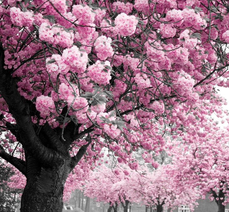 bomen met roze bloesem