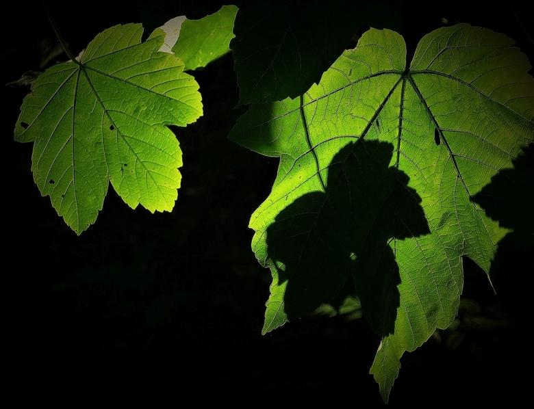 fotosynthese in de schaduw - een projectie van blad op blad.