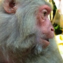 2012 Vietnam makaak (macaca nemestrina) Monkey Island Nha Trang.JPG