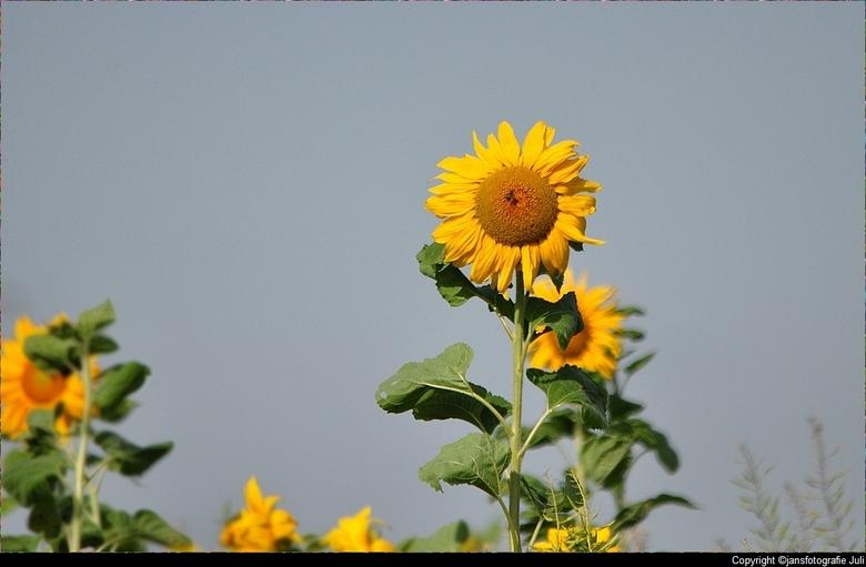 Zonnebloemen - er staat weer een veldje Zonnebloemen bij Anjum (friesland ons rondje Lauwersmeer)<br /> een heel fijn weekend gr jans<br /> <br />