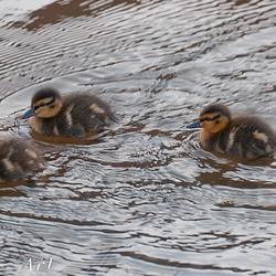 Drie kleine eendenkuikens zwemmen in de gracht