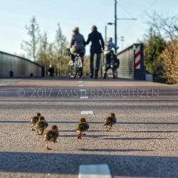 Little ducks running