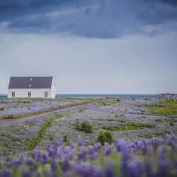 IJsland in bloei
