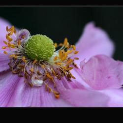 anemoon zonder bijtje