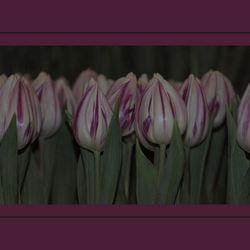 rijtje tulpen