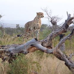 jaguar in Krugerpark