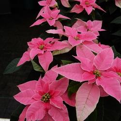 pink kerstroos