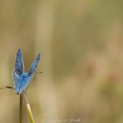 Icarusblauwtje in het ochtendlicht