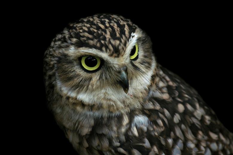 Burrowing Owl, Konijnenuil  - (Athene cunicularia) Portret