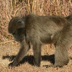 zoekende aap
