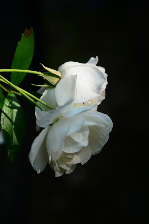 Roos - deze roos groeide in de tuin langs het terras.<br />