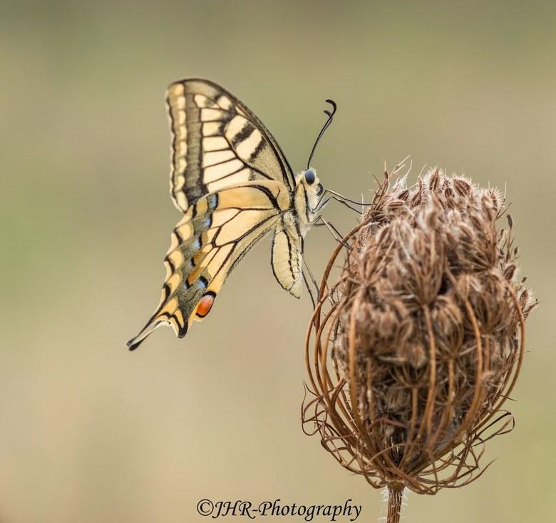 The queen awakens - Even zat de schrik er bij mij in toen deze koninginnenpage de vleugels uitsloeg.<br /> Gelukkig vloog ze niet weg en kon ik nog l