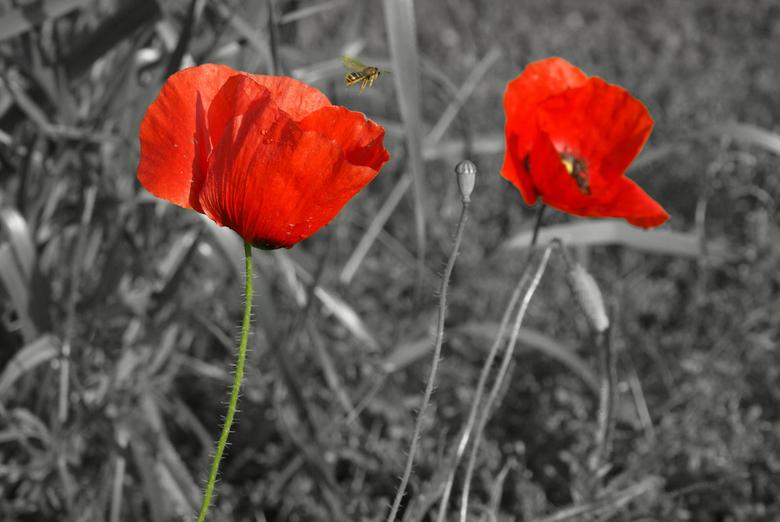 red poppies - Deze foto vorige week (in de meivakantie) in Frankrijk gemaakt. Bewerkt met Photoshop elements 5.0